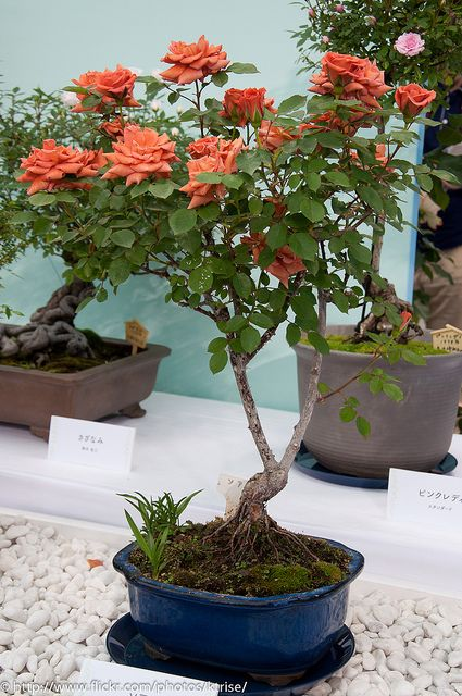 Bonsai Rose by Happy Kota, via Flickr
