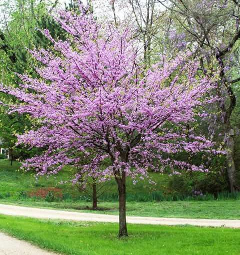 Eastern Redbud Circus canadensis  Spectacular rosy pink blossoms that appear in April Great colorful foliage year round with reddish-brown leaves changing to dark green then to yellow in fall Grows to 20' to 30' with 25' to 35' spread Zones 4 to 9