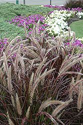Thrillers: Purple Fountain Grass (Pennisetum setaceum 'Rubrum') at Bachman's Landscaping