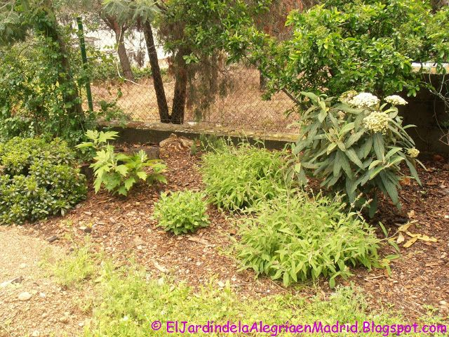 El jardín de la alegría : Viburnum rhytidophyllum, un viburno poco visto