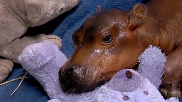 Doctors at a children's hospital have stepped in to help save a premature hippo born at Cincinnati Zoo in Ohio.
