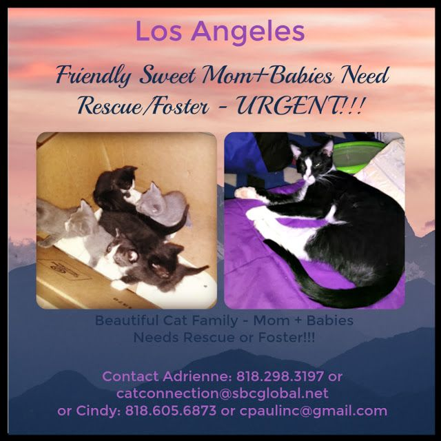 Losangeles Good News Re Urgent Foster Or Rescue Needed Asap For Friendly Sweet Mom Tuxedo Cat Her 6 Week Old Kittens Kitten Care Newborn Kittens The Fosters