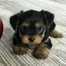 Rocky Yorkshire Terrier Puppy   – Yorkie