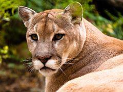 Puma (kuguar) – Wikipedia, wolna encyklopedia