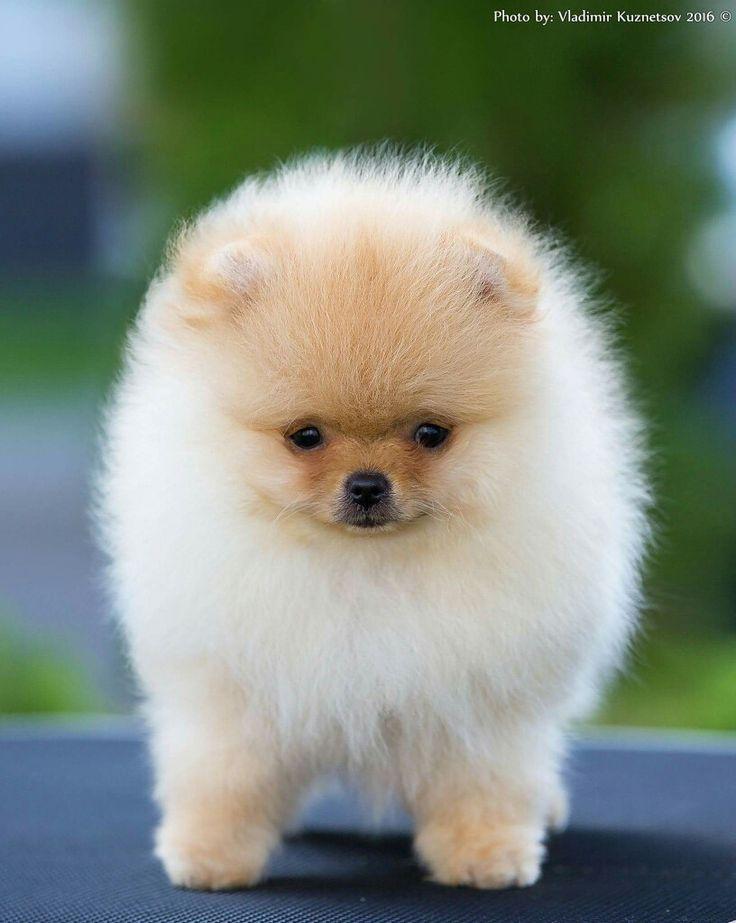 Pomeranian Mini Toys – Wow Blog