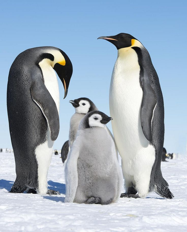 Emperor penguins are awesome - Emperor penguins and babies ...