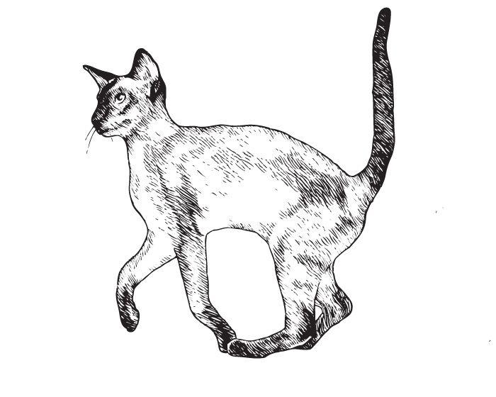 Сиамская кошка. Описание: история, характер, интеллект Сиамских кошек. ФОТО. Содержание и кормление Сиамских кошек - Glorypets