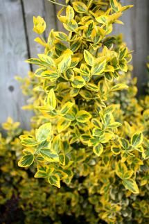 Shrubs That Thrive in the Shade: Emerald and Gold Euonymus