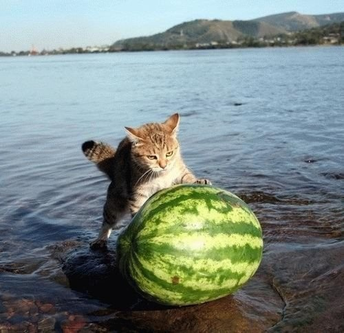Anyone want to explain why this cat is pushing a watermelon?