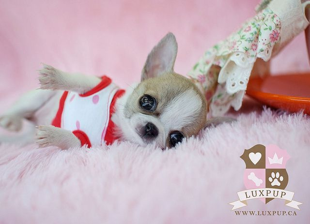 teacup chihuahua.  i am expecting one of these in my christmas stocking.  ackhem.