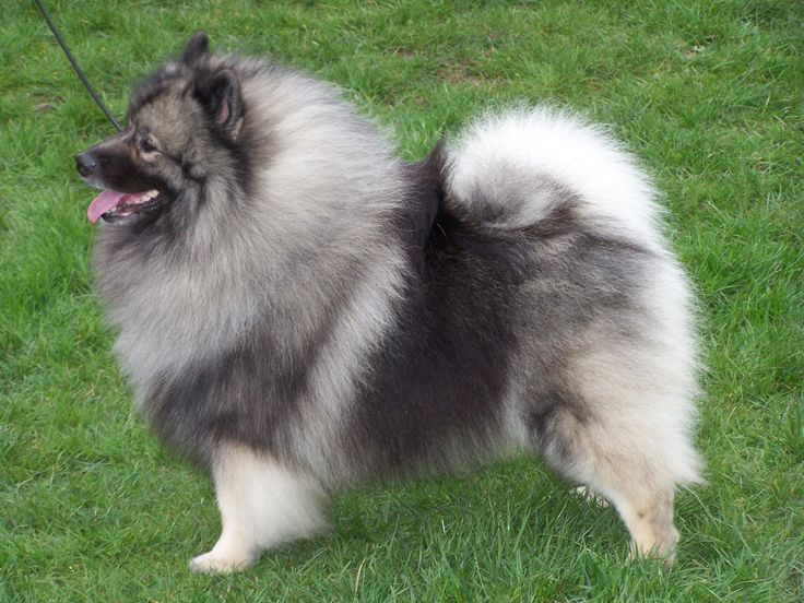 keeshond beauty - this looks so much like the keeshonds I once owned. Miss them so - great dogs!