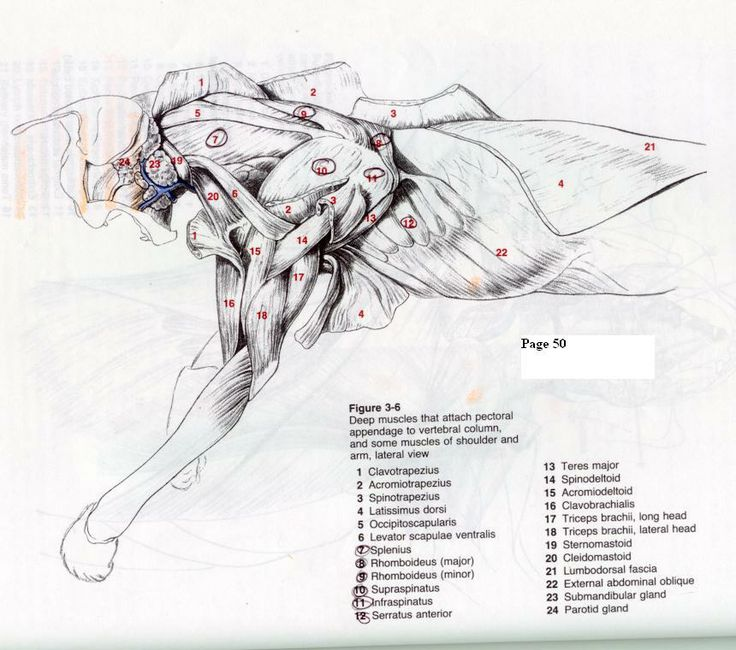 Deep Muscles Of Chest And Shoulder Of A Cat Dog Anatomy