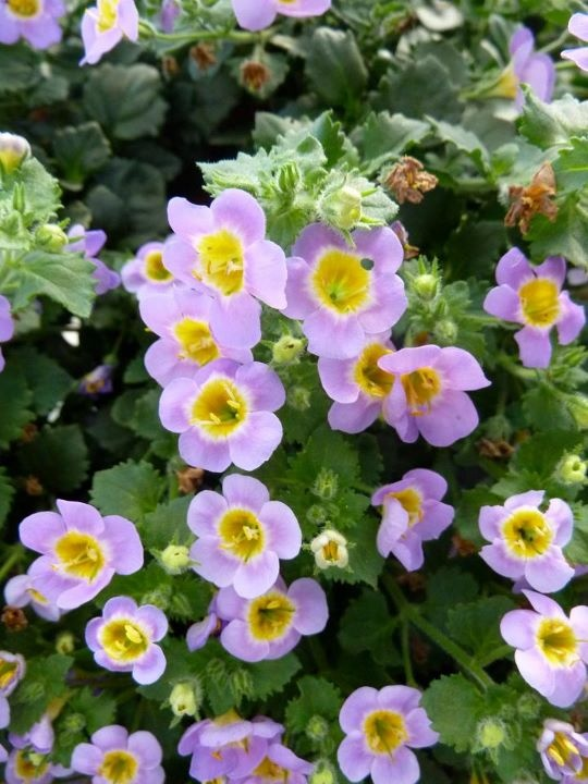 'Boutique Bacopa Blue' --The new boutique Bacopa from Hort Couture.