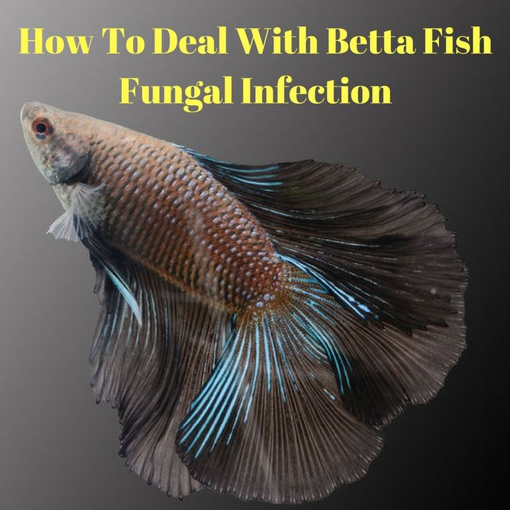 239 best betta fish images on pinterest animaux beta for How do you take care of a betta fish