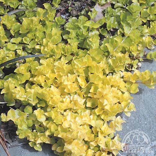 Lysimachia nummularia 'Aurea' - shed garden