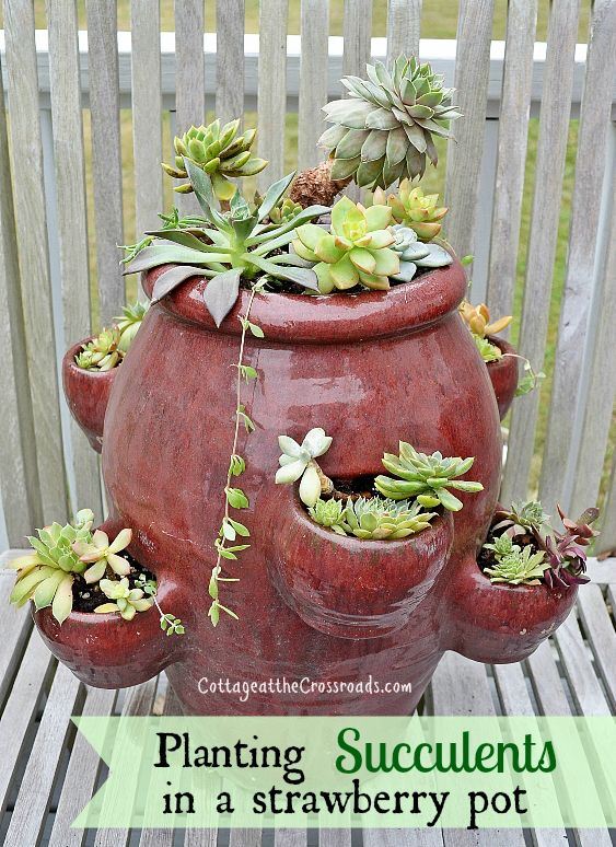 planting succulents in a strawberry pot
