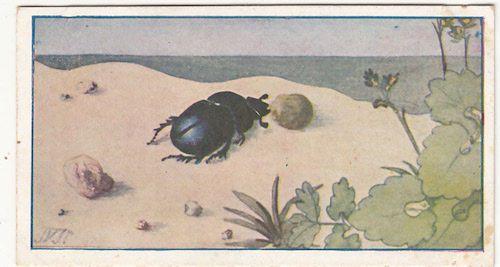 N°106 Bousier Sacré Scarabée Carabaeus Sacer Dung Beetle INSECT IMAGE CHROMO fr.picclick.com