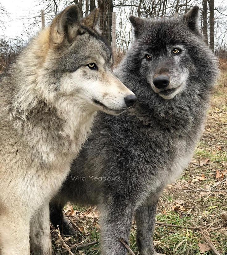 "Wolf Wolves of Instagram 🐺 on Instagram: ""What do you suppose they are chatting about? 🤔🐺 Who else loves these beautiful animals? Follow 🌟@wildfriendglobe for daily updates 😊 Photo…"""