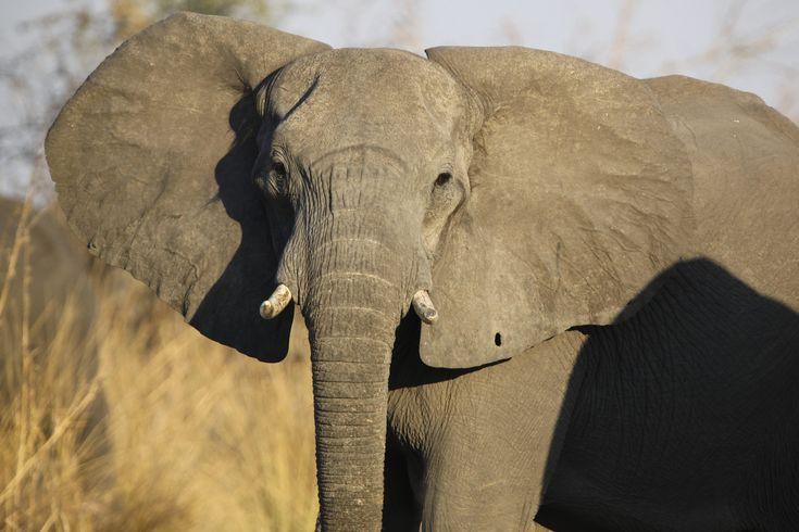 Botswana - Afrikanischer Elefant