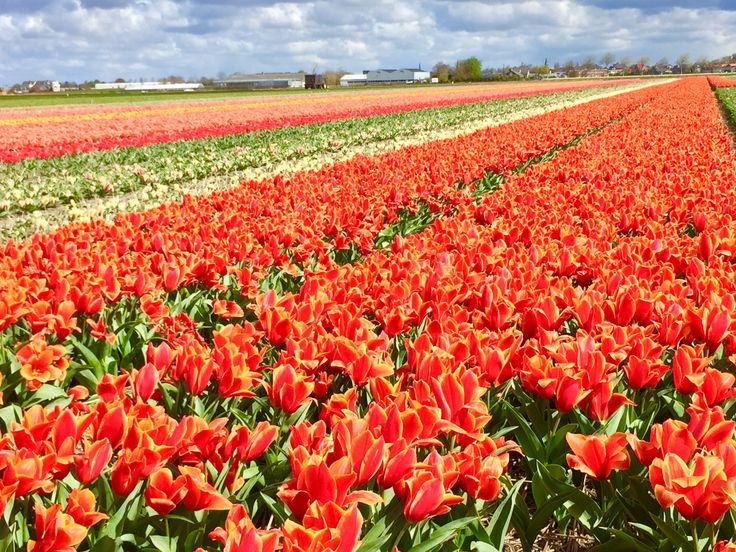 Tulips in the Netherlands, plus Haarlem