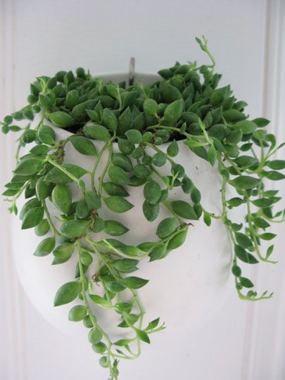 beauteous house plants names. Trailing house plant 77 best inside plants images on Pinterest  Indoor Home