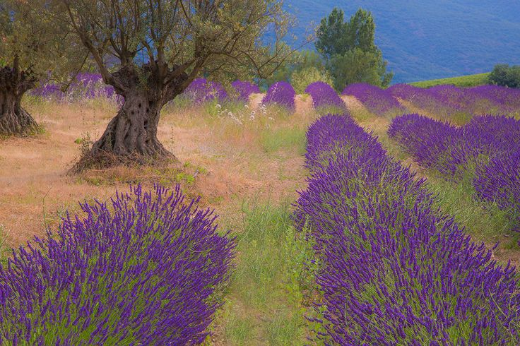 """""""The Old and the New"""" by Jim Nilsen. Lavender and old olive tree in the Luberon near Bonnieux, Provence, France."""