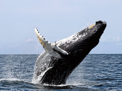 Whale watching off of Boston was one of the best experiences ever.  Everyone should try this once!!!: Bucket List, Animals, Whale Watching, Humpback Whales, Sea, Ocean