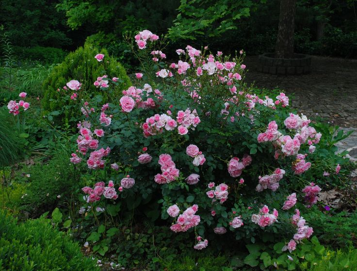 The first rose is 'Bonica'. I think this is one of the best roses on the market today. Healthy, nice even on poor soil and in semi-shade, very cold-tolerant (Z4), blooming from