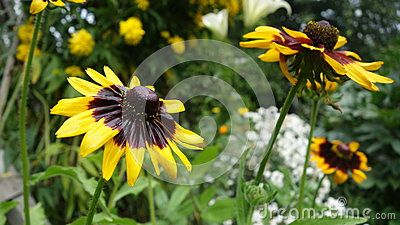 Flower with yellow petals and dark middle