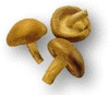 Crimini Mushrooms. (Italian brown):  Naturally dark cap that ranges in color from light tan to rich brown; rich, earthy flavor is more intense than that of the Agaricus. Substitute for button mushrooms to add a more full-bodied flavor.