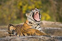 17 months old Bengal tiger cub resting on rock | Theo Allofs Photography