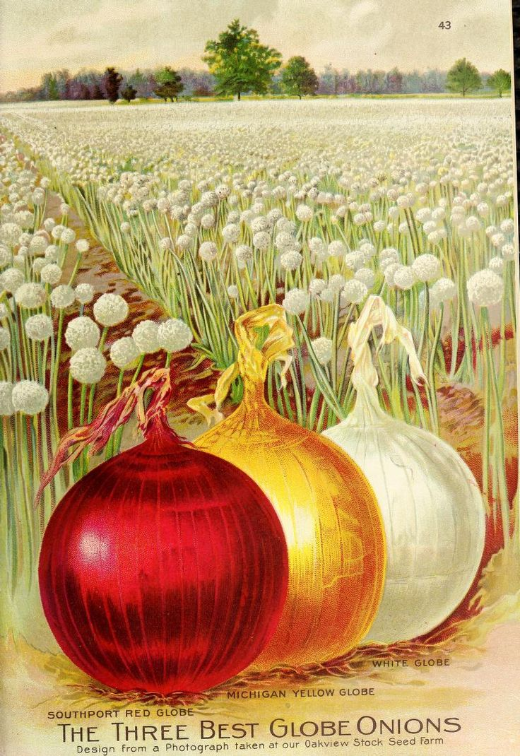 'The Three Best Globe Onions' - Southport Red Globe, Michigan Yellow Globe and White Globe. Ferry's Seed Annual (1910).