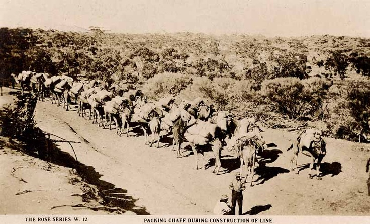 Australia Commonwealth Railways, Large pack train of Dromedary camels haling chaff in the Austraian Outback during the construction of the Trans-Australian Railway.