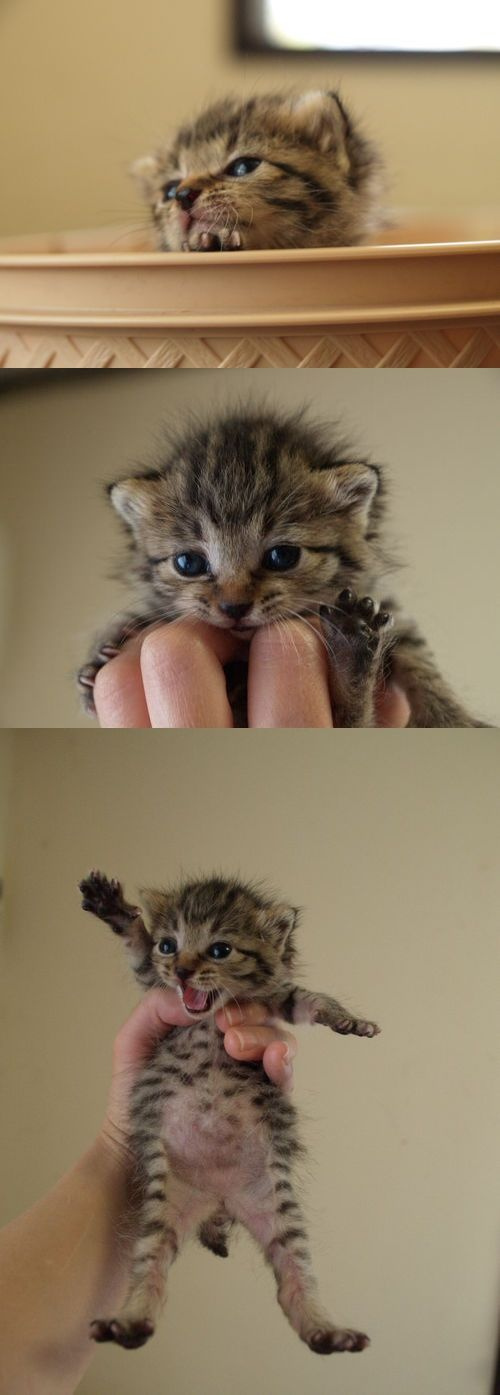 Norwegian Forest Kitten -So cute! I just wanna stuff him/her down my bra and run… ノルウェイの森の仔猫…そんなんおるんや