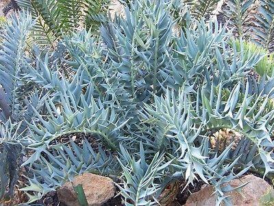 True Blue Encephalartos arenarius Ice Blue Agave Aloe Cycad