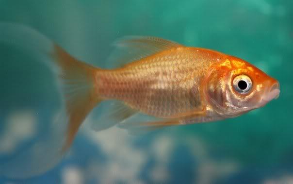The Comet Goldfish  al...
