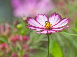 Cosmos Flower - Photo: © Marie Iannotti