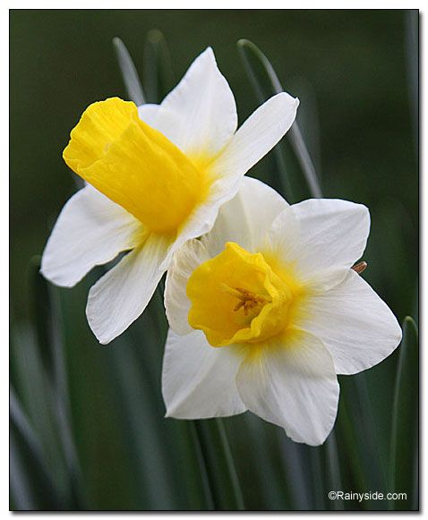 Narcissus 'Golden Echo' in a story that walks through memories of swirly dresses and daffodils.