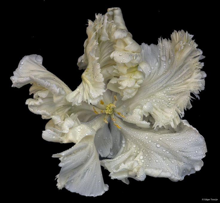 white tulip by Edgar Tossijn on 500px