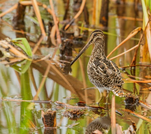 African snipe, South Africa