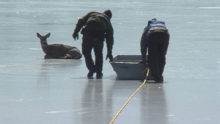 Decatur Lake Patrol and the Decatur Fire Department helped rescue a deer from frozen Lake Decatur this morning 4 March 2014. photo courtesy WAND-TV Channel 17 News