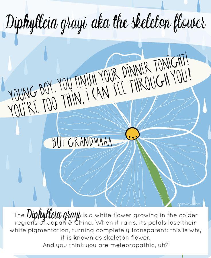 WOW #001: DIPHYLLEIA GRAYI (aka the skeleton flower)