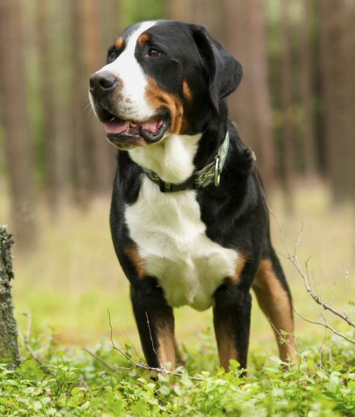10 Large Dog Breeds That Are Gentle - Greater Swiss Mountain Dog <3 <3 <3