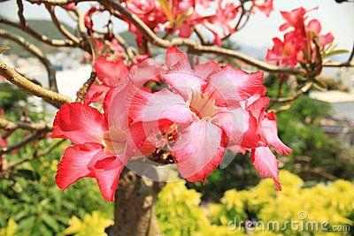 Аdenium flower in the garden in Vietnam