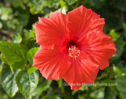 Growing Hibiscus Growing Hibiscus Indoors Hibiscus Flower Caring For Hibiscus Plants