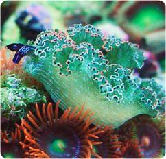 Sea Slug -    ;)