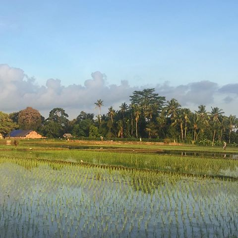 The beauty of the Balinese Rice Fields and Coconut tree plantations!!!💚💛 the countryside took my heart away😊