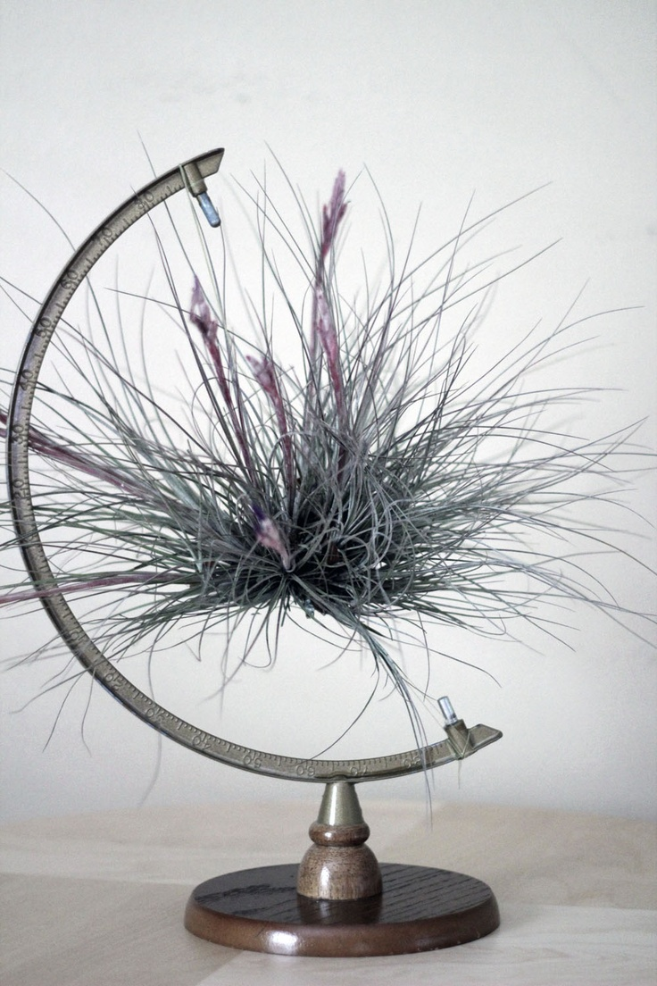 Air Plant Display 48 Best Air Plants Images On Pinterest Air Plants Gardening And