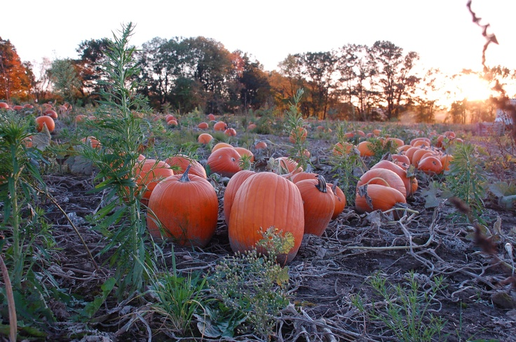 Can't recall if I pinned this already, but it is worth looking at it again. I just love the sort of goofy, charming sight of pumpkins in the field in the fall! This is between Kitchener and Roseville, Ontario.