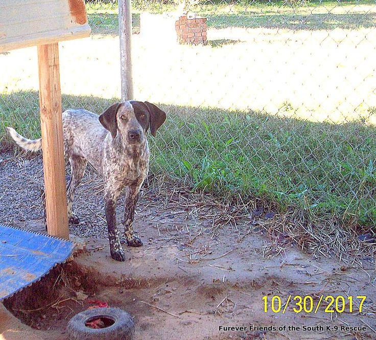 Bluetick Coonhound dog for Adoption in Crossville, AL. ADN